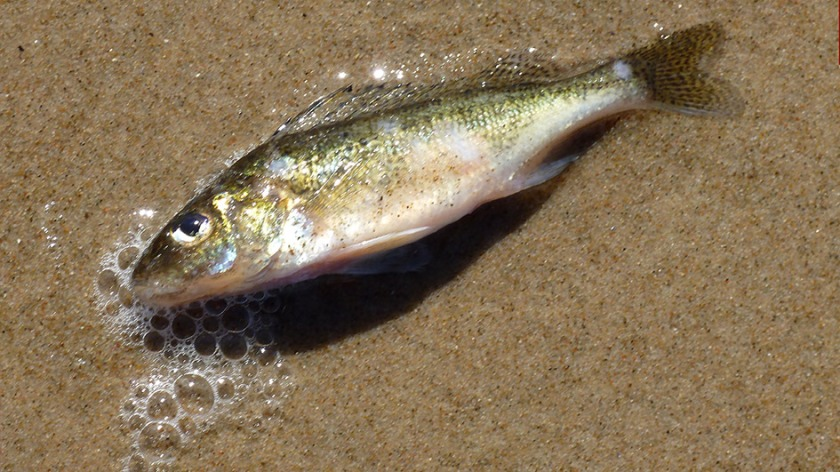Gestrandeter Fisch Usedom
